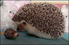 Little Hedgie with Hedgehog